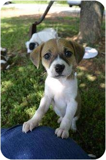 darling beagle mix puppies adopted puppy west warwick