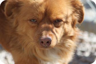 Dachshund/Pomeranian Mix Dog for adoption in Russellville, Kentucky - Emmitt