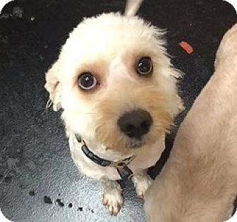 Lhasa Apso Mix Dog for adoption in Studio City, California - Curly