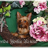 Yorkie, Yorkshire Terrier Dog for adoption in Palm City, Florida - RIGBY