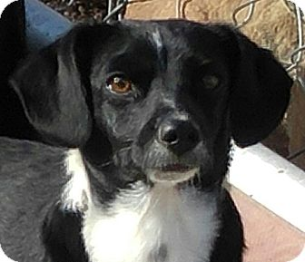 Terrier (Unknown Type, Small) Mix Dog for adoption in Arenas Valley, New Mexico - Sylvester