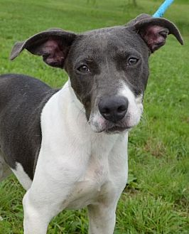 Pointer Mix Dog for adoption in Trenton, Missouri - Sookie