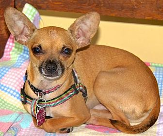 Chihuahua Dog for adoption in San Diego, California - Pacquito