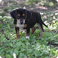 Adopt A Pet :: Johnny Cash - Groton, MA