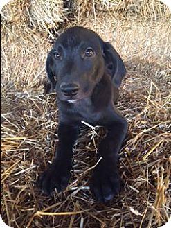 Labrador Retriever Mix Puppy for adoption in Hagerstown, Maryland - Collins