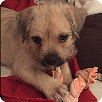 Adopt A Pet :: Buttercup - Bernardston, MA