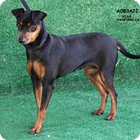Adopt A Pet :: *KENSI - Hanford, CA