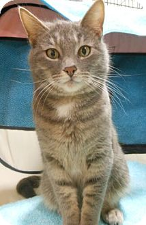 Domestic Shorthair Cat for adoption in Reston, Virginia - Janet