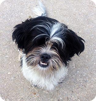 Lhasa Apso/Shih Tzu Mix Dog for adoption in Muskegon, Michigan - Liam