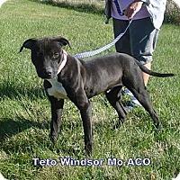Adopt A Pet :: Teto - Windsor, MO