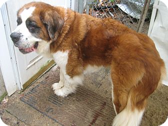 St. Bernard Dog for adoption in Sudbury, Massachusetts - Josephine -- ADOPTION PENDING