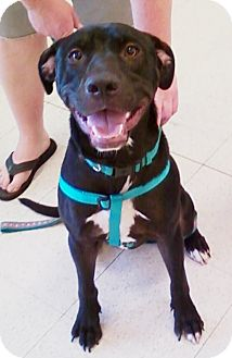 Labrador Retriever Mix Puppy for adoption in Midlothian, Virginia - Daryl