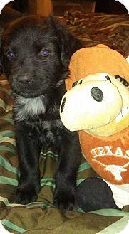 Labrador Retriever/Mixed Breed (Medium) Mix Puppy for adoption in Burleson, Texas - Kasai