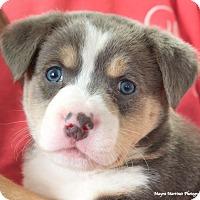 Adopt A Pet :: Ace - Huntsville, AL