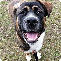 Adopt A Pet :: Bear - Oakhurst, NJ