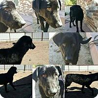 Adopt A Pet :: Mocsha - Denver, CO