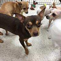 Adopt A Pet :: Danielle - Gilbert, AZ