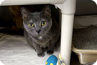 Domestic Shorthair Cat for adoption in Chicago, Illinois - Winking Willow