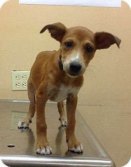 Terrier (Unknown Type, Small) Mix Puppy for adoption in Brooklyn, New York - Debbie