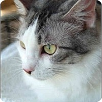 Domestic Longhair Cat for adoption in Garland, Texas - Angel