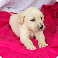 Adopt A Pet :: *Paisley - PENDING - Westport, CT