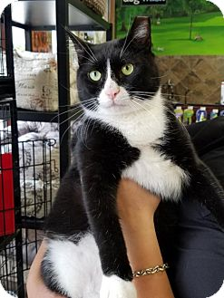 Domestic Shorthair Cat for adoption in Philadelphia, Pennsylvania - Patrick