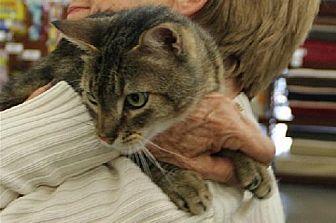 Domestic Shorthair Cat for adoption in Walnut Creek, California - Shawn