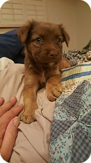Labrador Retriever/Collie Mix Puppy for adoption in Stamford, Connecticut - Chance