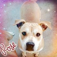 Adopt A Pet :: Rose - Odessa, TX