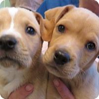 Adopt A Pet :: Kayla & Emily~ Puppies! - St Petersburg, FL