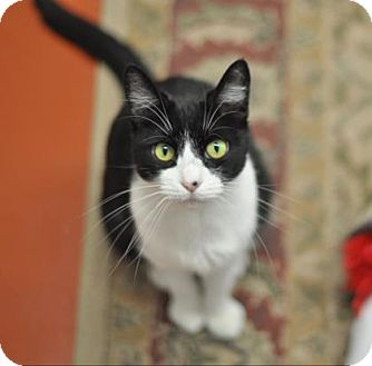 Domestic Shorthair Cat for adoption in Cocoa, Florida - Katie (Cocoa Center)