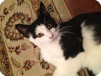 Domestic Shorthair Cat for adoption in East Hanover, New Jersey - Sherman