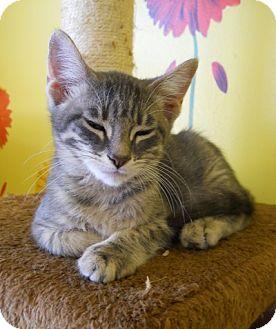 Domestic Shorthair Kitten for adoption in Mobile, Alabama - Bogart