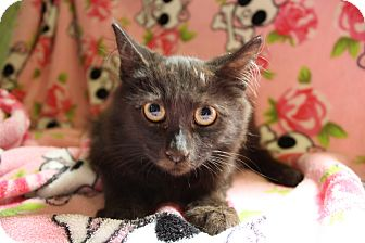 Domestic Longhair Kitten for adoption in Fountain Hills, Arizona - MAGIC
