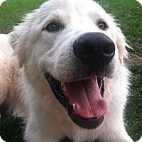 Adopt A Pet :: Harvey  *Adopted - Tulsa, OK
