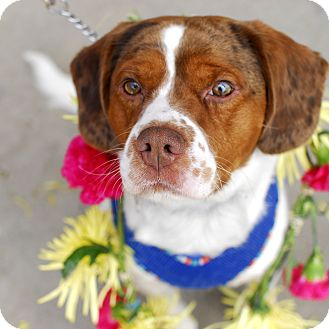 Spaniel (Unknown Type)/Beagle Mix Dog for adoption in Detroit, Michigan - Baxter-Adopted!