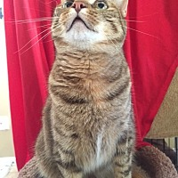 Domestic Shorthair Cat for adoption in Bloomsburg, Pennsylvania - Mystic