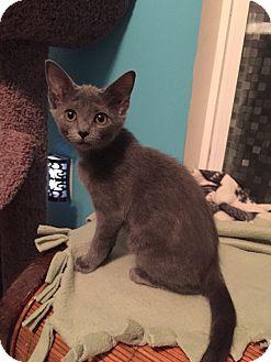 Russian Blue Kitten for adoption in Charlotte, North Carolina - A..  Sade