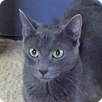 Russian Blue Cat for adoption in Phoenix, Arizona - Adiva