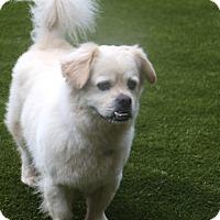 Adopt A Pet :: Buckwheat Calm Boy in Norwalk CT - Rowayton, CT