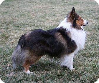 Sheltie, Shetland Sheepdog Dog for adoption in Mission, Kansas - Frankie
