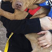 Adopt A Pet :: HARVEY - New York, NY