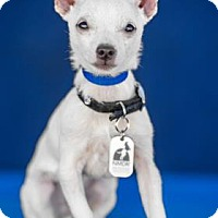 Chihuahua/Terrier (Unknown Type, Small) Mix Puppy for adoption in Colorado Springs, Colorado - Nugget