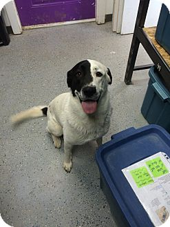 Labrador Retriever/Border Collie Mix Dog for adoption in Duchess, Alberta - Lucky