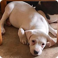 Adopt A Pet :: Audrey - Valley Stream, NY