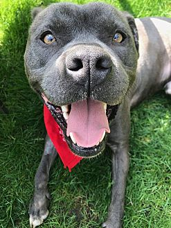 American Staffordshire Terrier/American Pit Bull Terrier Mix Dog for adoption in Chicago, Illinois - Bobby