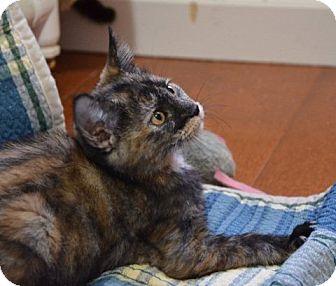 Domestic Shorthair Kitten for adoption in Davis, California - Mardi Gras