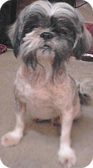 Shih Tzu Dog for adoption in Lakeland, Florida - GiGi