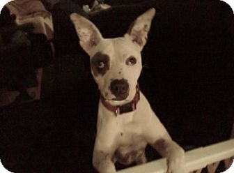 American Bulldog Mix Dog for adoption in Burbank, California - Spanky