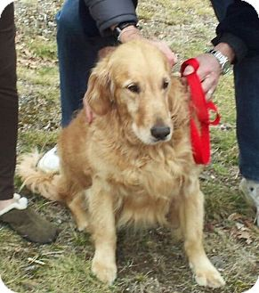 Golden Retriever Dog for adoption in New Canaan, Connecticut - Simba